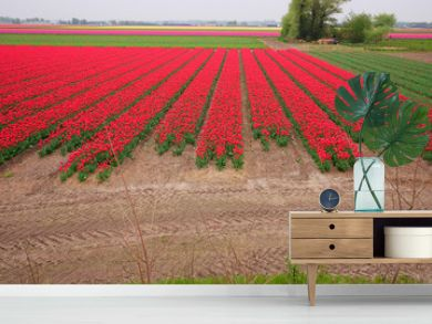 Tulip field in Holland. Red rows of blooming spring flowers in Netherlands.