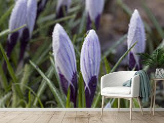 First blooming crocus flowers and fresh green moss in spring