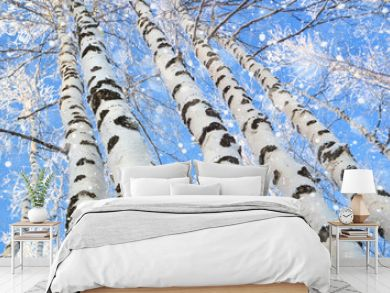 Trunks of beautiful birches trees against the blue sky. Snowfall in  birch grove