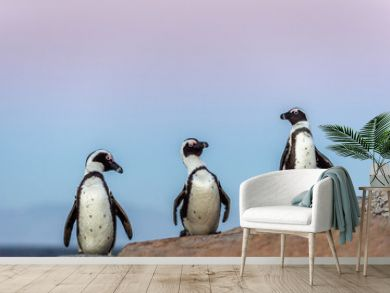 The African penguins in evening twilight, sunset sky. Scientific name: Spheniscus demersus, jackass penguin or black-footed penguin. Natural habitat. South Africa