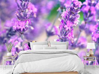 Bee pollinating herbal lavender flowers in a field.  England, UK