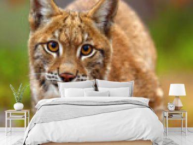 The Eurasian lynx (Lynx lynx), portait. Subadult cat portait.Cat ready to attack.