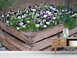 """Viola tricolor var. hortensis"" - Garden Pansy growing in wooden box."