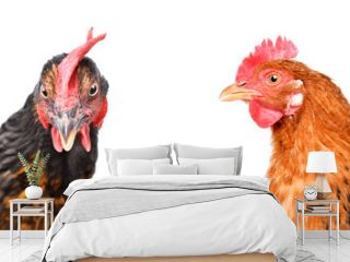 Portrait of  two chickens isolated on white background
