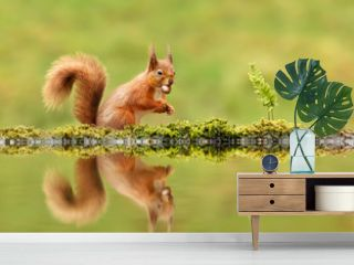 Red squirrel eating a nut by a pond in autumn