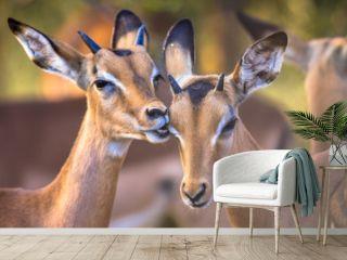 Impalas grooming sweetly