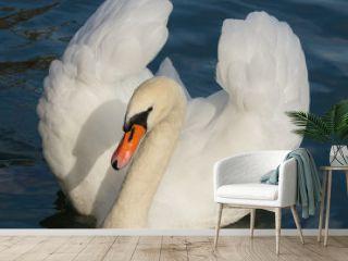 White swan swimming on Lake Zurich in Switzerland
