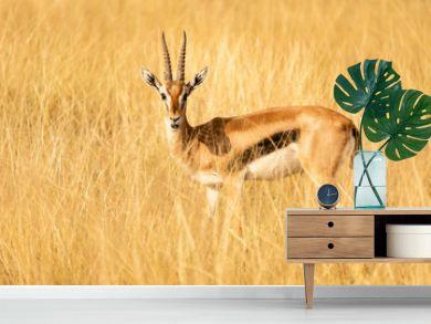 thomson antilope