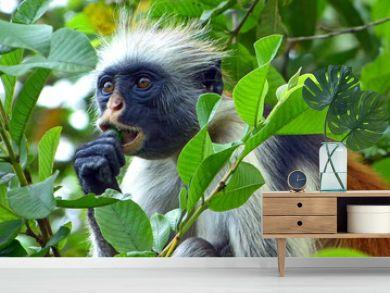Red colobus monkey eating fruit