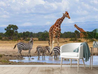 Reticulated giraffe (Giraffa camelopardalis reticulata) and zebra (equus quagga) queue to drink water at waterhole in Ol Pejeta Conservancy, Kenya, Africa