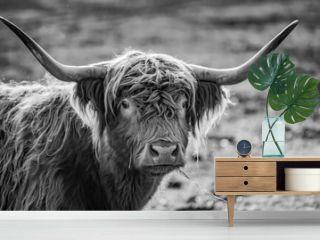 monochromes Portrait Kopf  gehörntes schottisches Hochland Rind im Sonnenschein auf einer Weide in der Uckermark