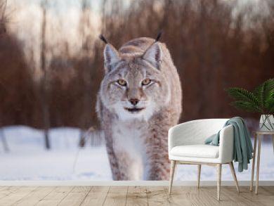 Abordable Eurasian Lynx, portrait in winter field
