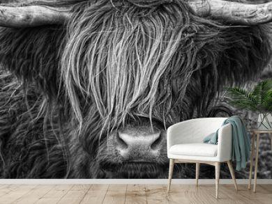 Highlander, Highland Cow, Scotland