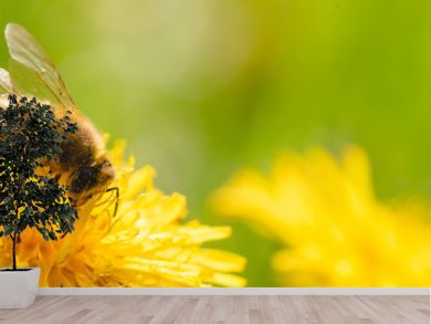 Honey bee covered with yellow pollen collecting nectar from dandelion flower.