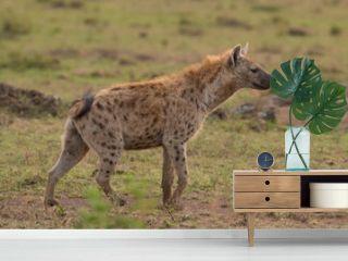 Hyena wandering the plains of Kenya