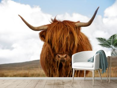 Highland cow standing in field with hills in the background