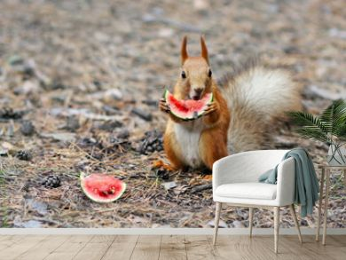 Funny squirrel eating a small watermelon. harvest