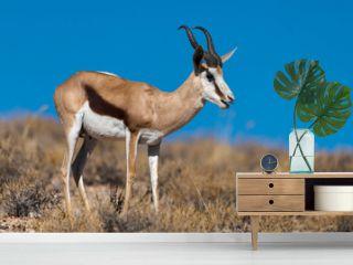 Springbok, Antidorcas marsupialis, Afrique du Sud