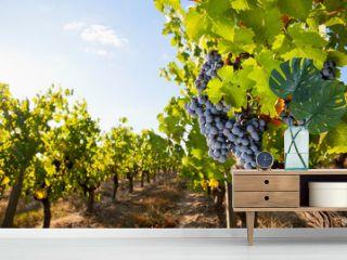 Raisin noir en grappe sous le soleil d'un vignoble Français.