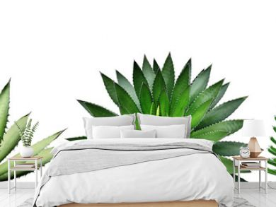 Agave Plants Isolated on White Background with Clipping Path