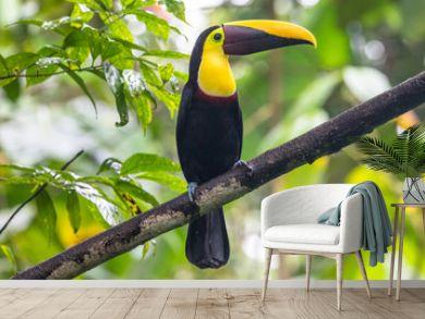 Swainson's Toucan, Chestnut-mandibled Toucan seen in rainforest near Arenal volcano