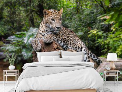 Sri Lankan leopard in rain forest, native to Sri Lanka