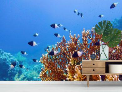 Tropical coral reef scene - Fire Coral  (Millepora)  an Chocolate dip chromis fish - Chromis Dimidiata, (damselfish)
