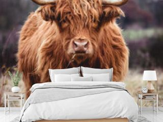 Highland cow doing his thing
