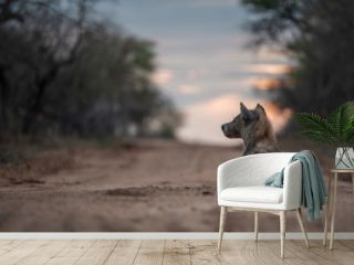 Sotted hyena in sunset
