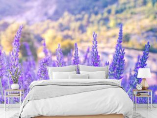 Lavender bushes closeup on sunset.