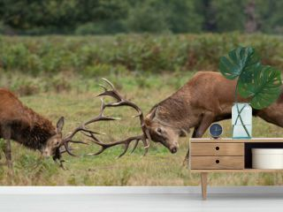 Young red stag deer watching two mature stags fighting