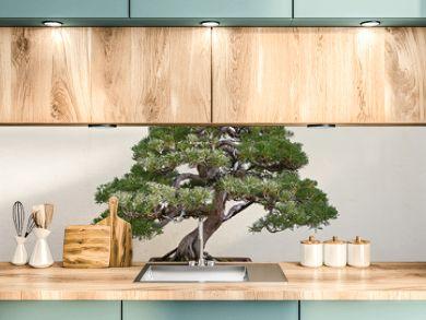 Beautiful pine tree bonsai