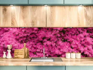 Panorama of Pink Azaleas in Bloom
