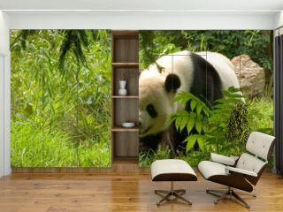giant panda 1