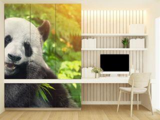 Black and white panda eating grass