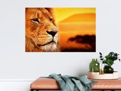 Lion portrait on savanna. Mount Kilimanjaro at sunset. Safari