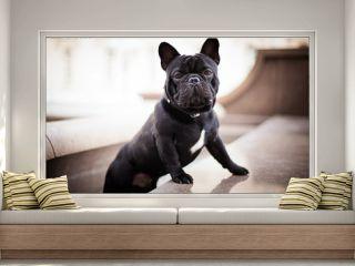 Black bulldog french bulldog posing against the backdrop of the city