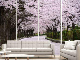 Cherry blossom road, Kyoto Japan.