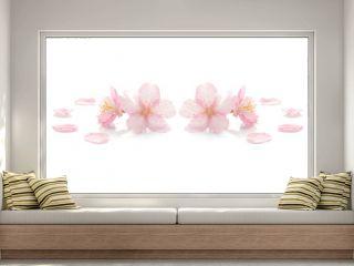 Japanese pink cherry blossom on white