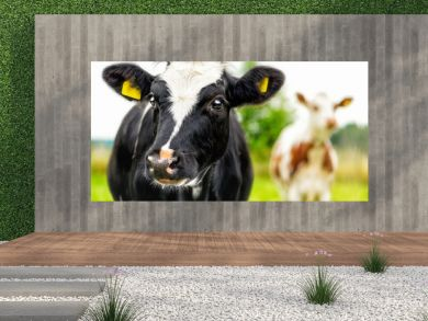 Young curious calfs on background of green grass