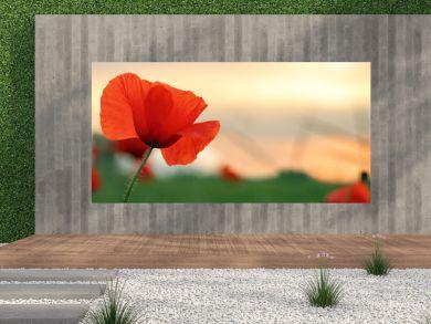 poppy at sunset