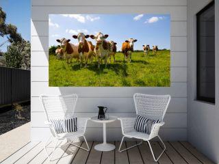 Montbeliarde cows