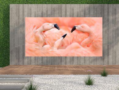 Flaningo fight. American flamingo, Phoenicopterus rubernice, pink big bird, dancing in water, animal in the nature habitat, Cuba, Caribbean. Wildlife scene from nature. Flock of  birds.