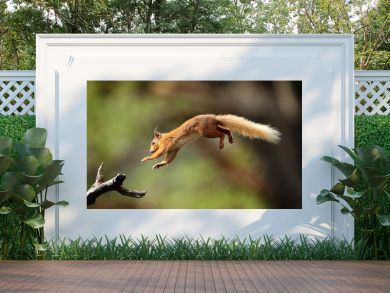 Red Squirrel flying
