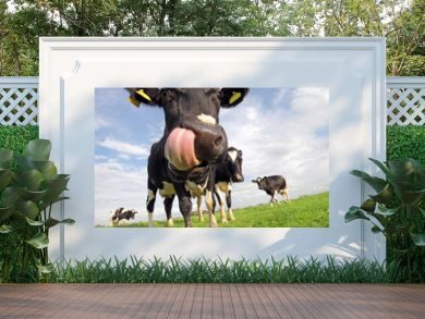 Holstein cow with huge tongue