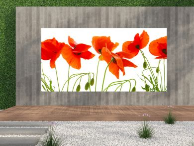 Red poppies isolated .