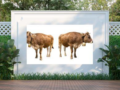 set of isolated brown cows on white backgrund / Set brauner Kühe isoliert auf weißem Hintergrund