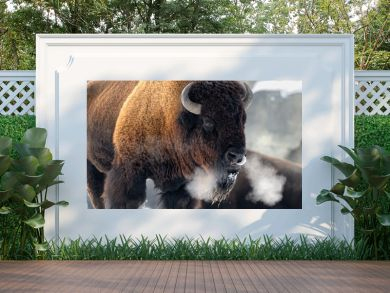 American bison (Bison bison) breathing in cold winter