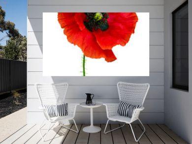 poppy. red poppy isolated on white background.red poppy. beautif