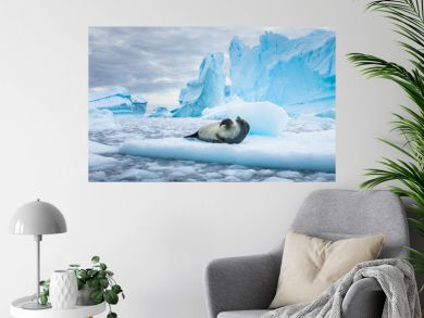 Crabeater seal (lobodon carcinophaga) in Antarctica resting on drifting pack ice or icefloe between blue icebergs and freezing sea water landscape in the Antarctic Peninsula